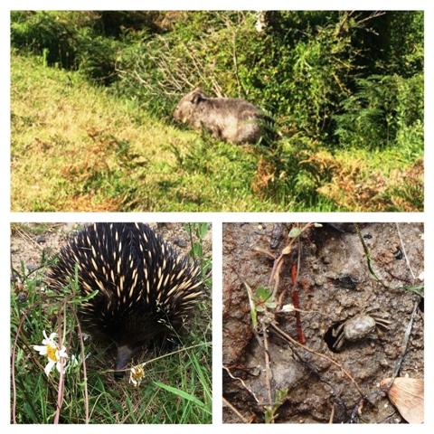 Wombat disznyó, Echidna hangyász-sün, rák