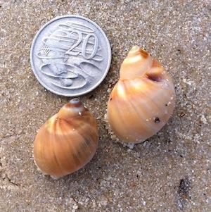 Így néz ki a Homok Csiga (Sand Snail)
