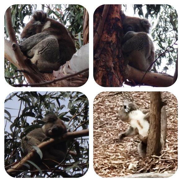 """A koala-sétány """"mackói"""""""