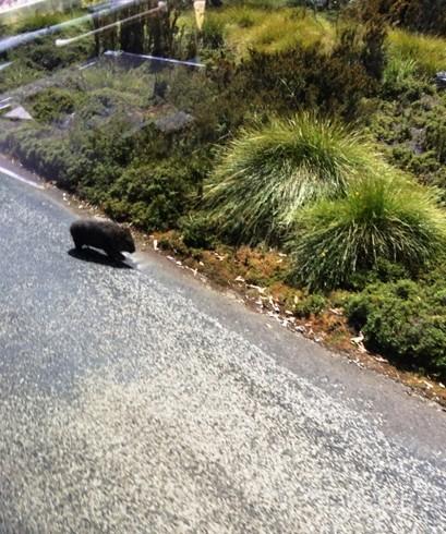 wombat a kisbuszból elcsípve