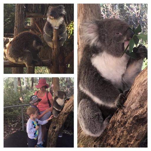 Kati és a fiúk az ingyenes koala simogatáson. Bal felső sarokban az a gubbasztó koala igen érdekes pózt vett fel... :))