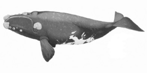 Balna2_southern_right_whale
