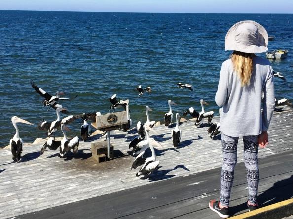 Kenguru-sziget, pelikán etetés