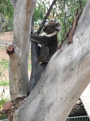 47_koala_seta2