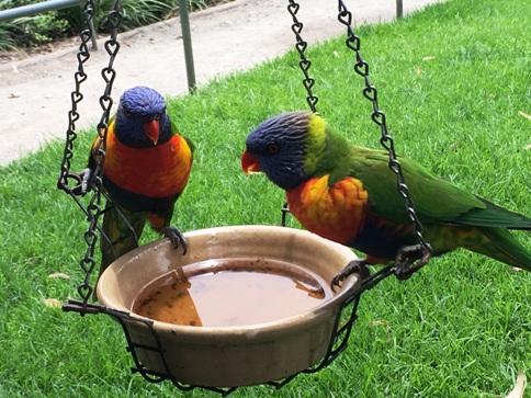 Szivárvány papagájok