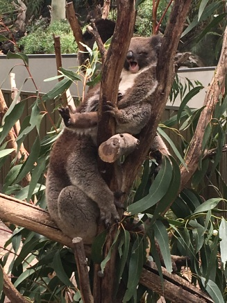 73_koala2